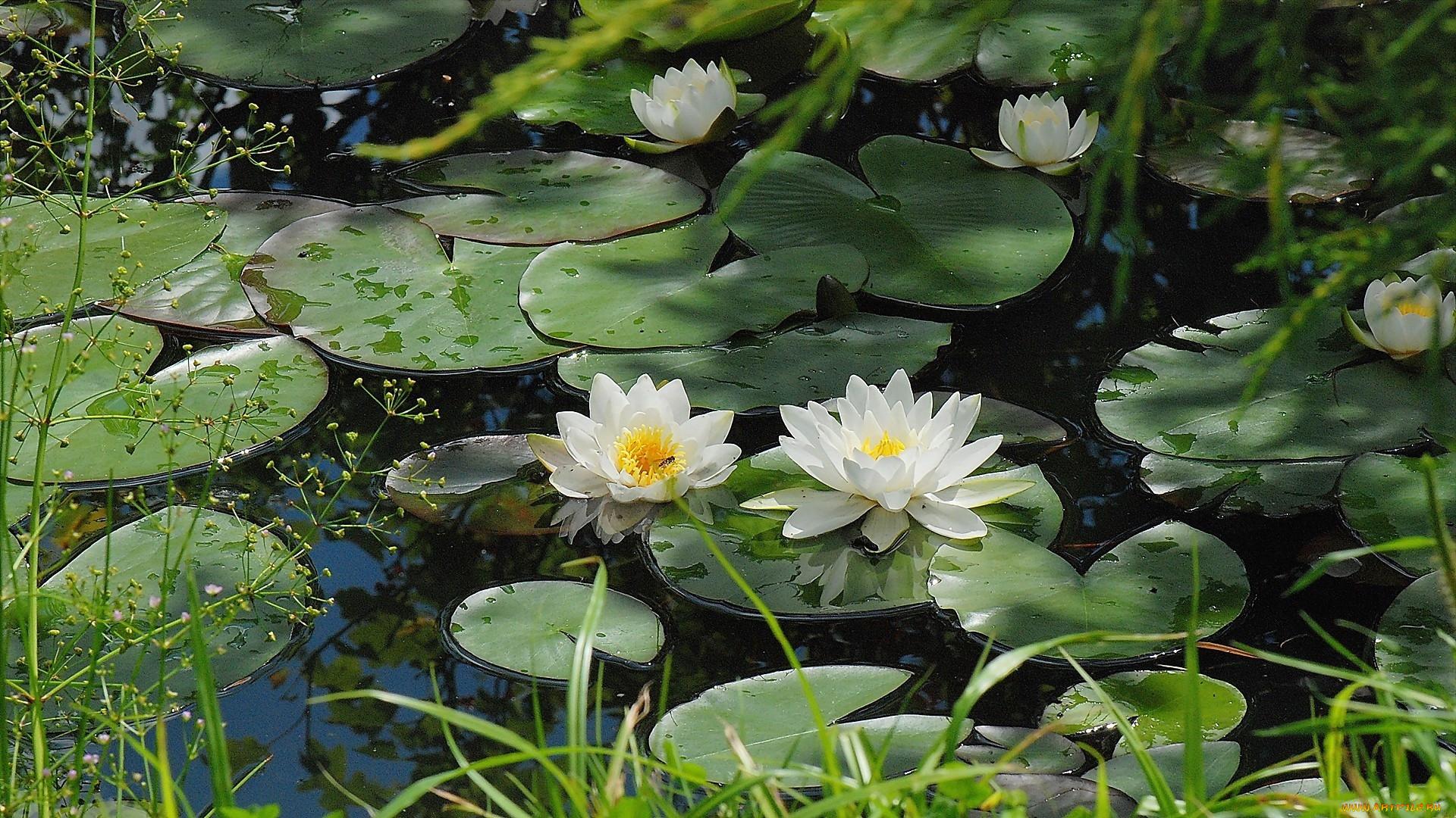 растения пресных вод фото и названия чем покрасить